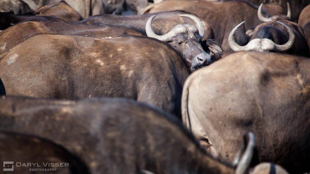 cape buffalo big 5