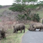 Hluhluwe Game Reserve-White Rhino Safari