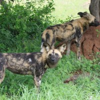 hluhluwe umfolozi park safari wild dogs