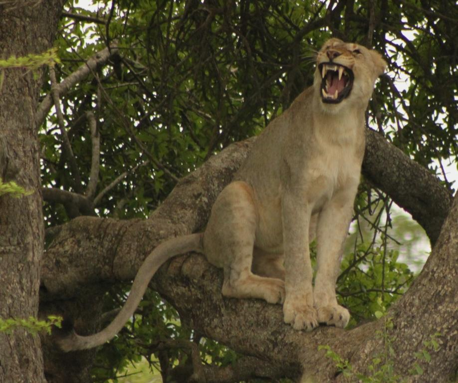Hluhluwe Game Reserve Lions in a Tree 2