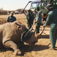 relocating rhino imfolozi park