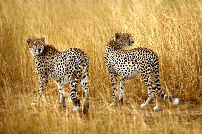 Hluhluwe Cheetah Facts - Hluhluwe Game Reserve