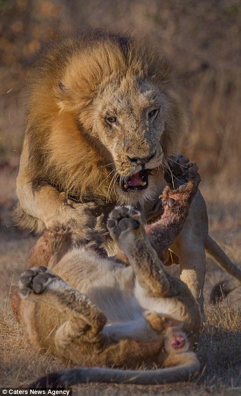 Chris Renshaw photographs capture lions fighting in Singita ..