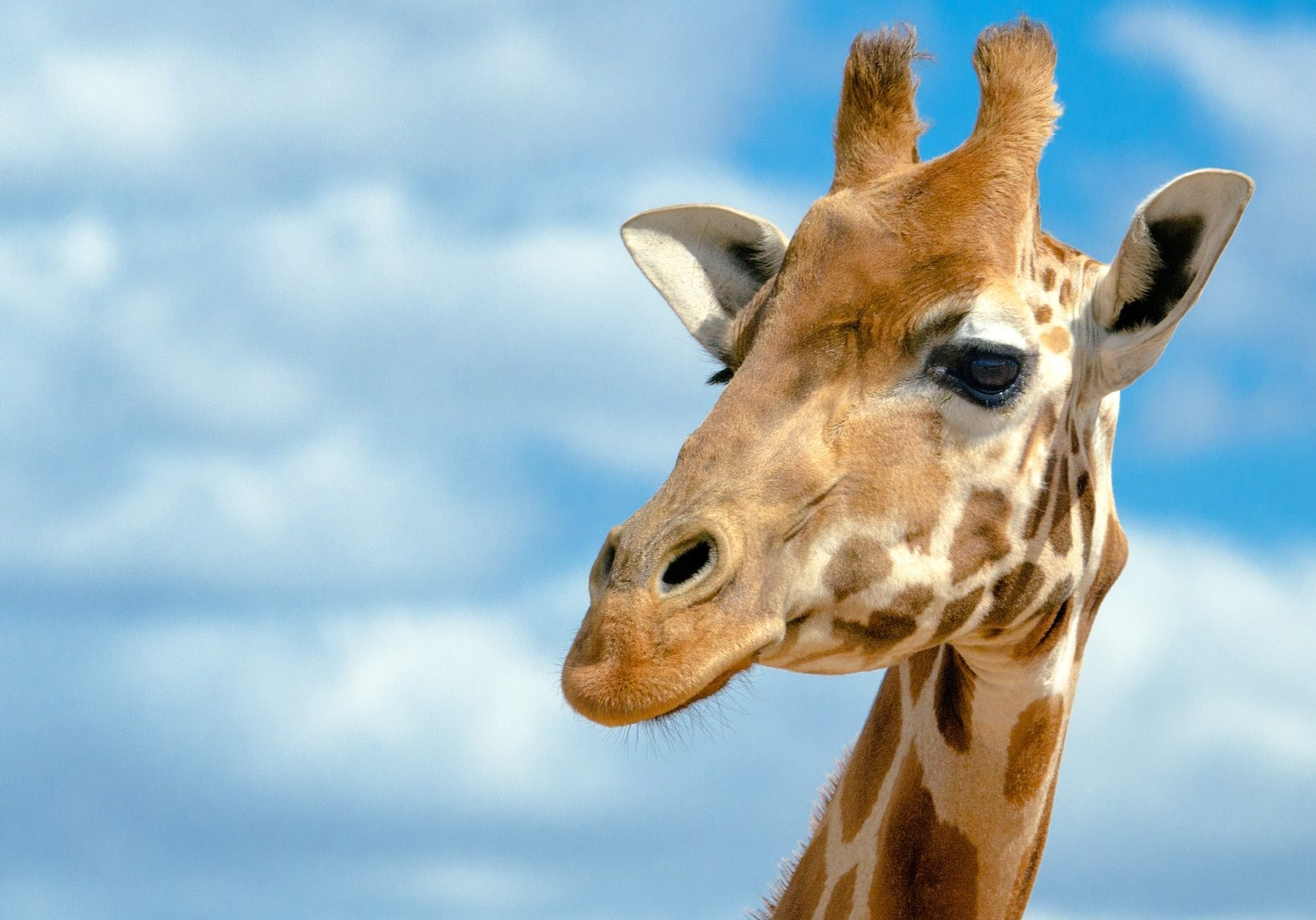 Giraffe Facts 3