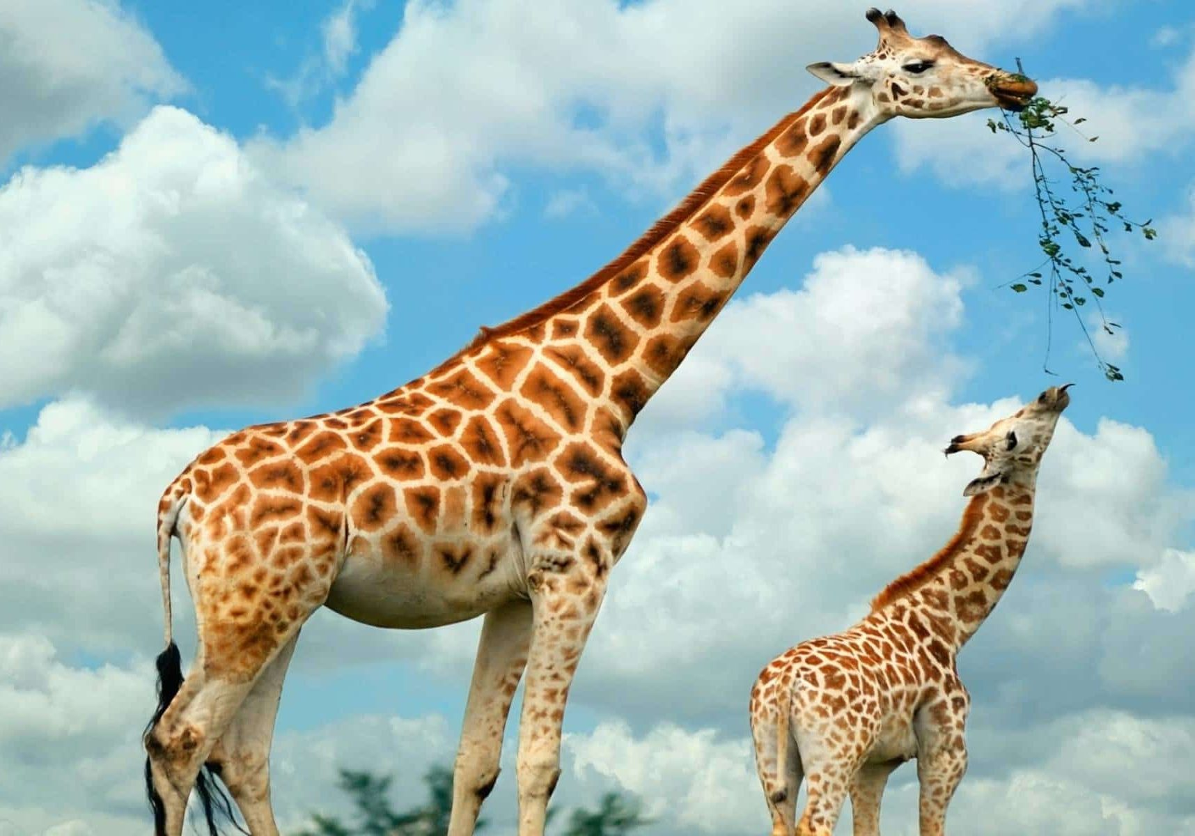 Giraffe Facts 2